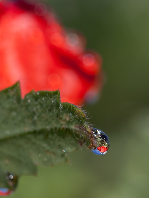 Droplet with Poppy Refraction