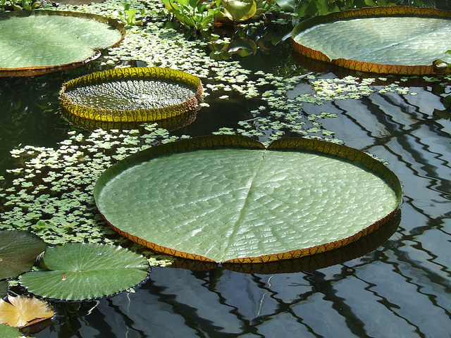 More large lily pads