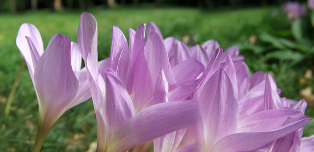 Autumn Crocus (Panorama)