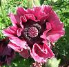 Dark Pink Poppy