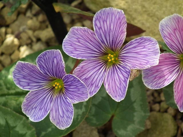 Delicate Purple Alpine