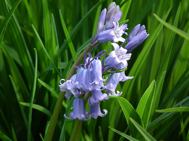 Bluebells on Green