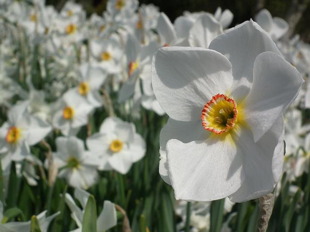 Featured Narcissus