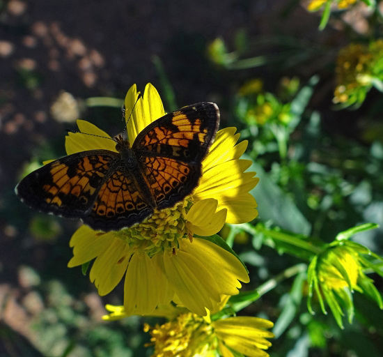 Silvery Checkerspot (Chlosyne nycteis) butterfly