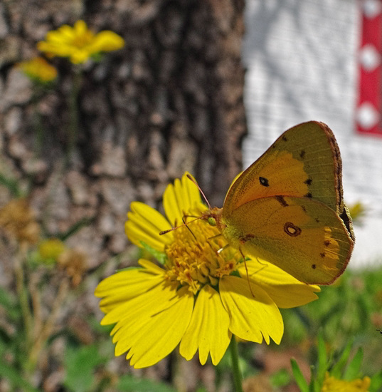 Clouded Sulphur butterfly(Colias philodice)