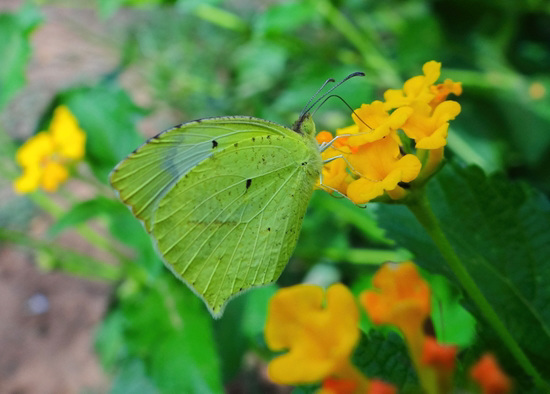 Mexican Yellow butterfly (Eurema mexicana)