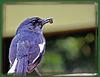 Oriental Magpie Robin...A series.