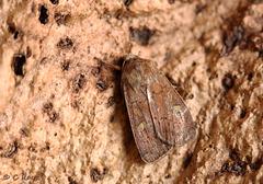 Small Square-spot Diarsia rubi