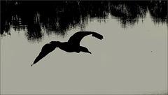 Le cri du cormoran