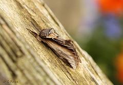Swallow Prominent Pheosia tremula
