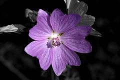 BESANCON: Une fleur en noir et blanc / couleurs. 01.