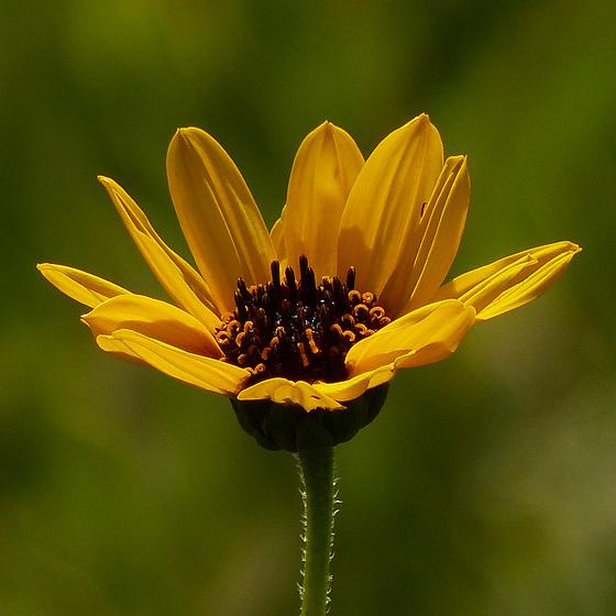 Native Sunflower sp.