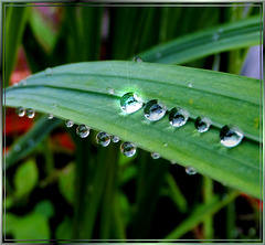 Raindrops and one Solitaire. ©UdoSm