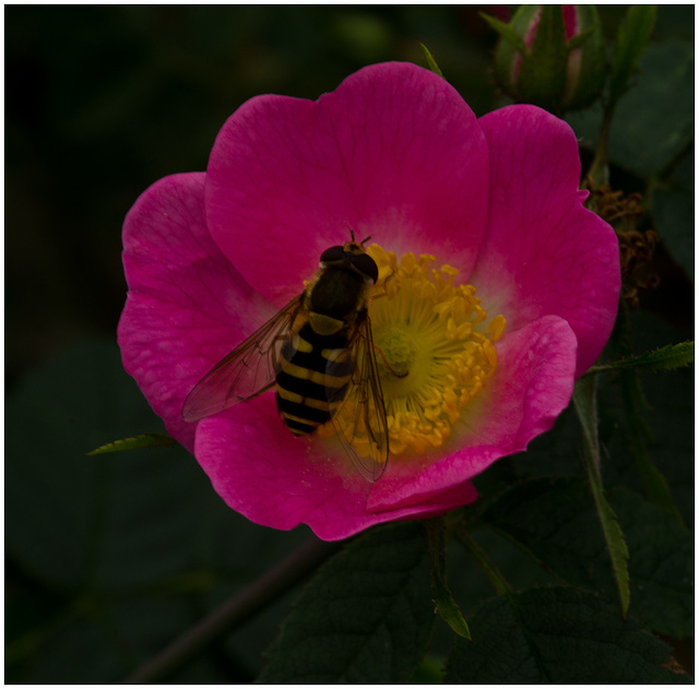 A Common Hover Fly, (Syrphus ribesii)