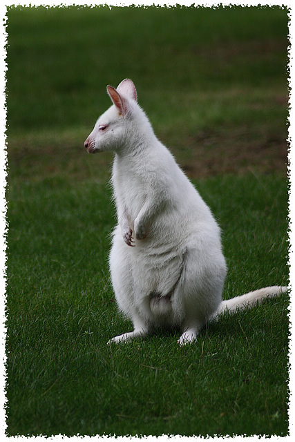 Wallabye Albinos
