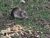Park Rat!