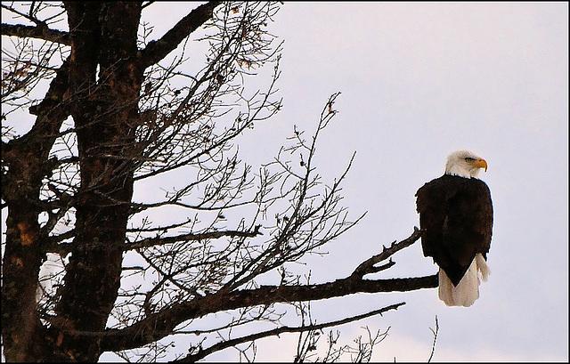 Eagle in dead tree.