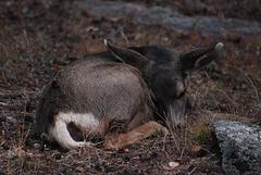 Sleepy Fawn