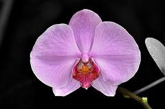 NICE: Parc Phoenix: Une Orchidée (Orchidaceae).