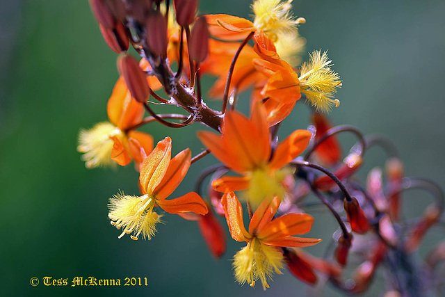 Asphodelaceae Bilbine Caulescens Explore 081 copy2