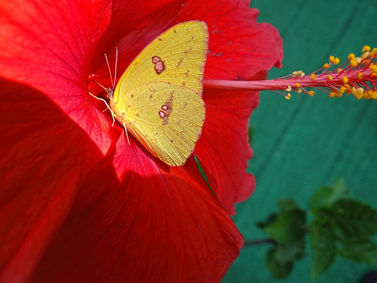 Clouded Sulphur on Hibiscus