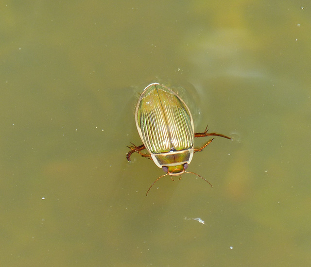 Dytique bordé (Dytiscus marginalis)