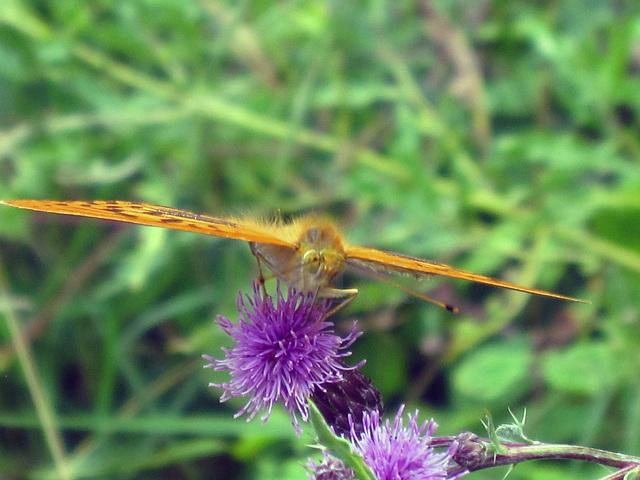 Papillon planeur
