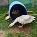 new gosling