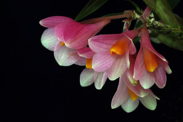 Dendrobium Mountain Magic