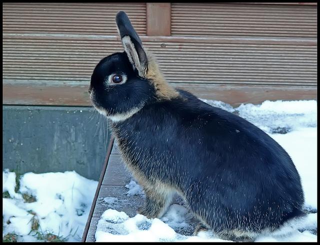 """Juksel"" my grandson's rabbit"