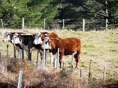 Four young bulls