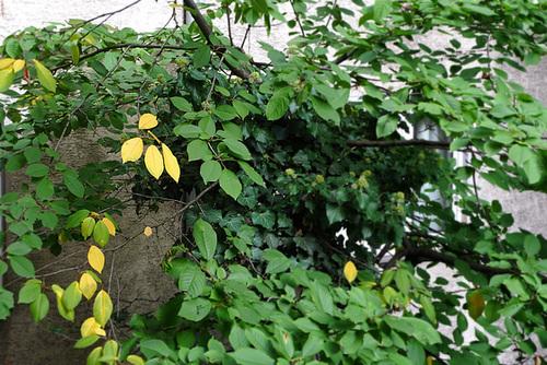 Erste Blattfärbung am Kirschbaum im Hof --- kirschbaum-1170111 Snapseed