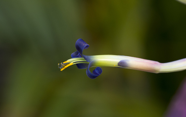 Billbergia vittata - Bromélia