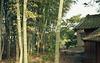 Bamboo_9