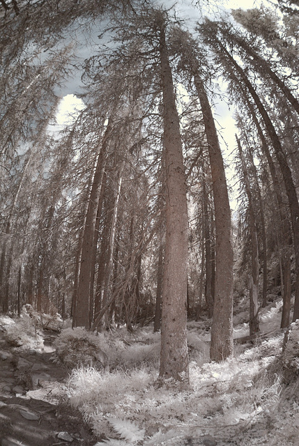 Disenchanted Forest