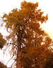 Pine tree - yellow needles