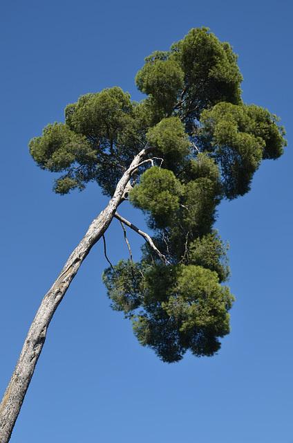 Q-Tip Tree