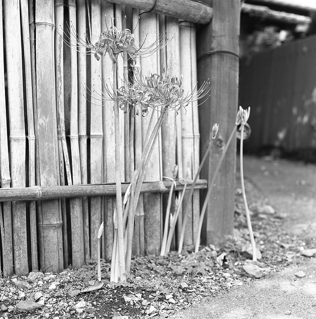 Spider lily and bamboo fence