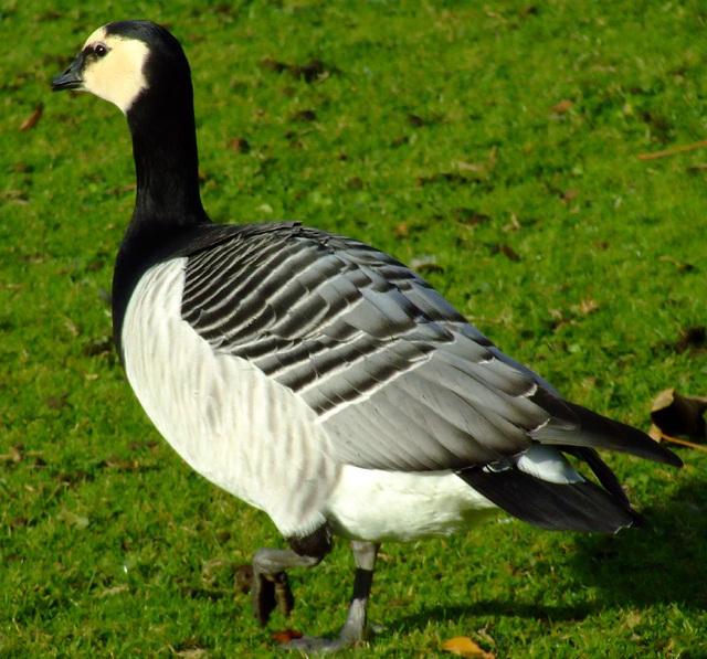Barnacle Goose Trotting