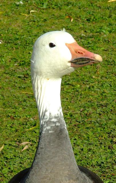 Goose Goosey