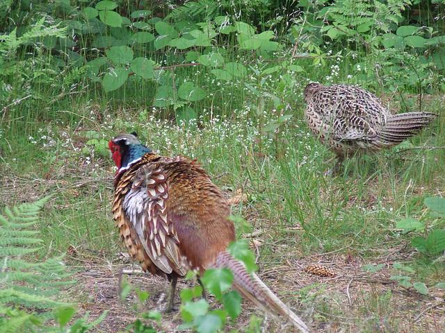 A pair of pleasant Pheasants