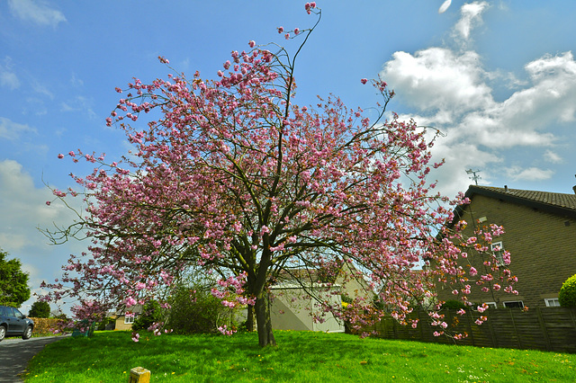 A lovely cherry tree
