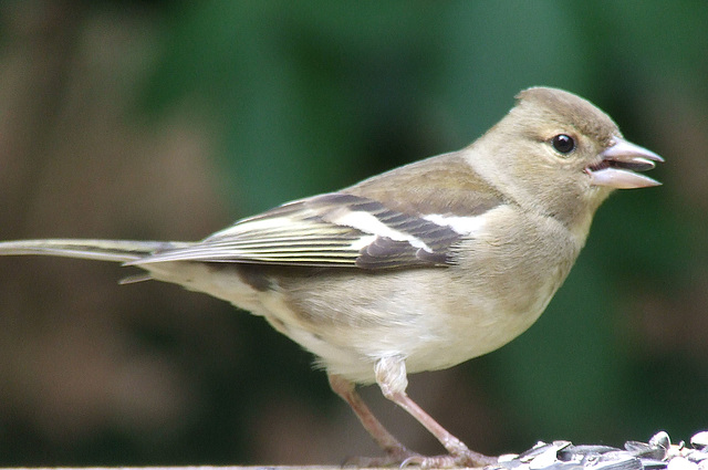 Chaffinch with Seed