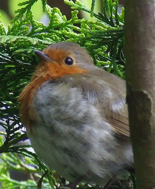 My Hooligan Robin