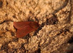 Ruby Tiger Phragmatobia fuliginosa