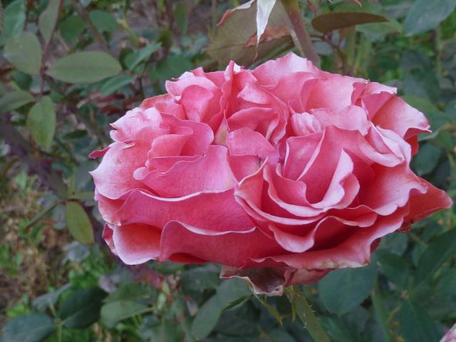 Rosa de rojo suave