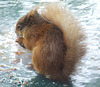 Squirrel in water