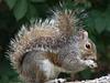 Bushy tailed grey squirrel