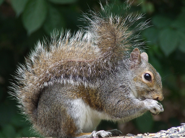 Bushy tailed grey squirrel