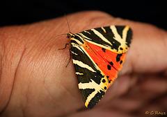Jersey Tiger Euplagia quadripunctaria